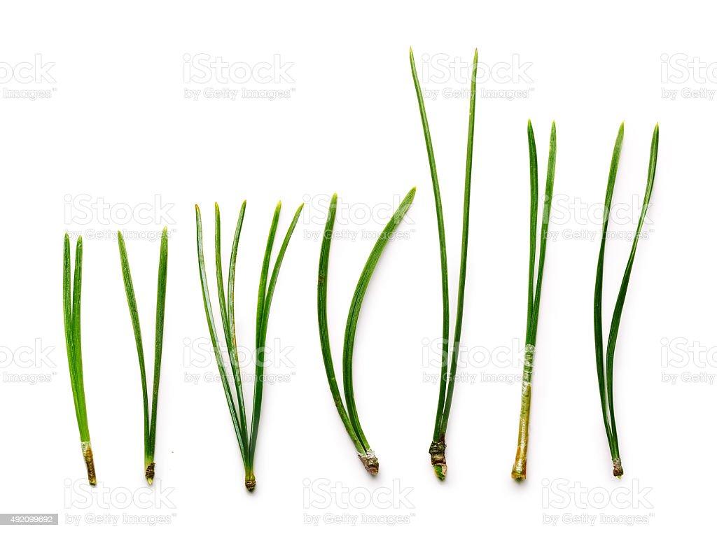 Conifer needles stock photo