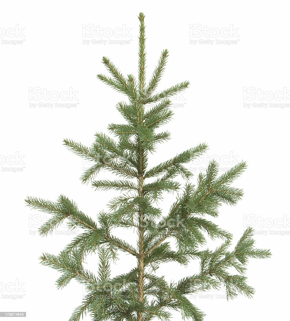 conifer stock photo