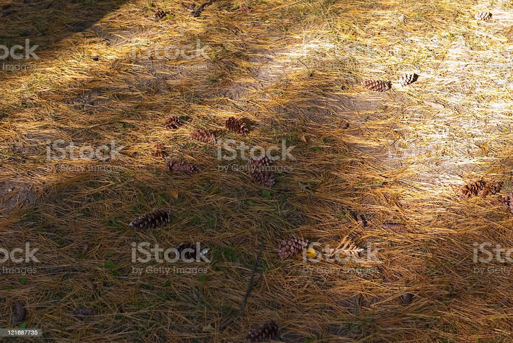 Conifer seeds in the forest royalty-free stock photo