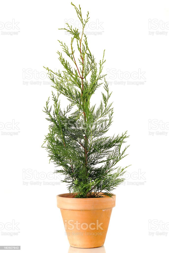 Conifer Shrub Leylandii royalty-free stock photo