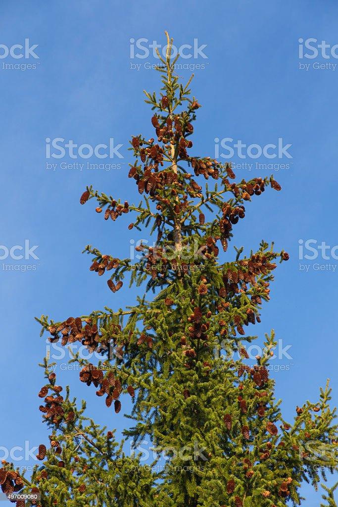 Conifer Spruce Abies - Conifera Picea Abies stock photo