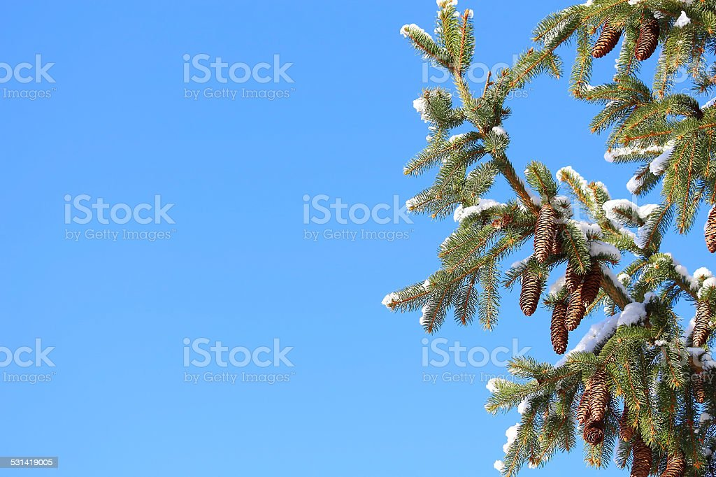 conifer twigs and cones stock photo