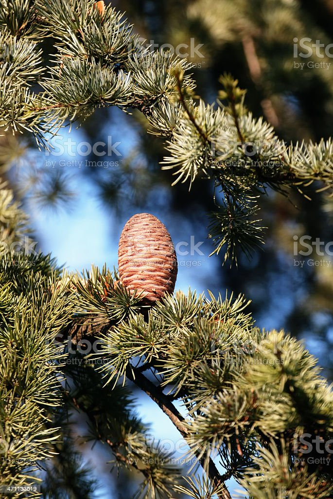 Conifer with Cone stock photo