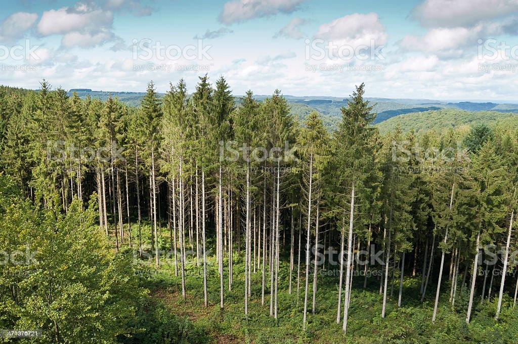 Conifer wood stock photo