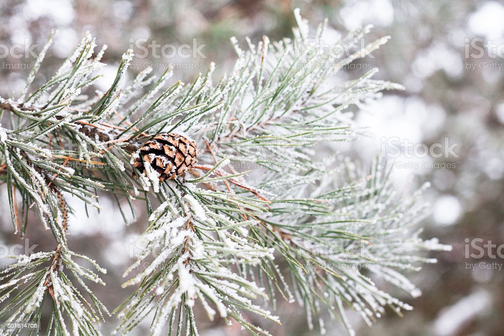 Coniferous branches covered with hoarfrost stock photo