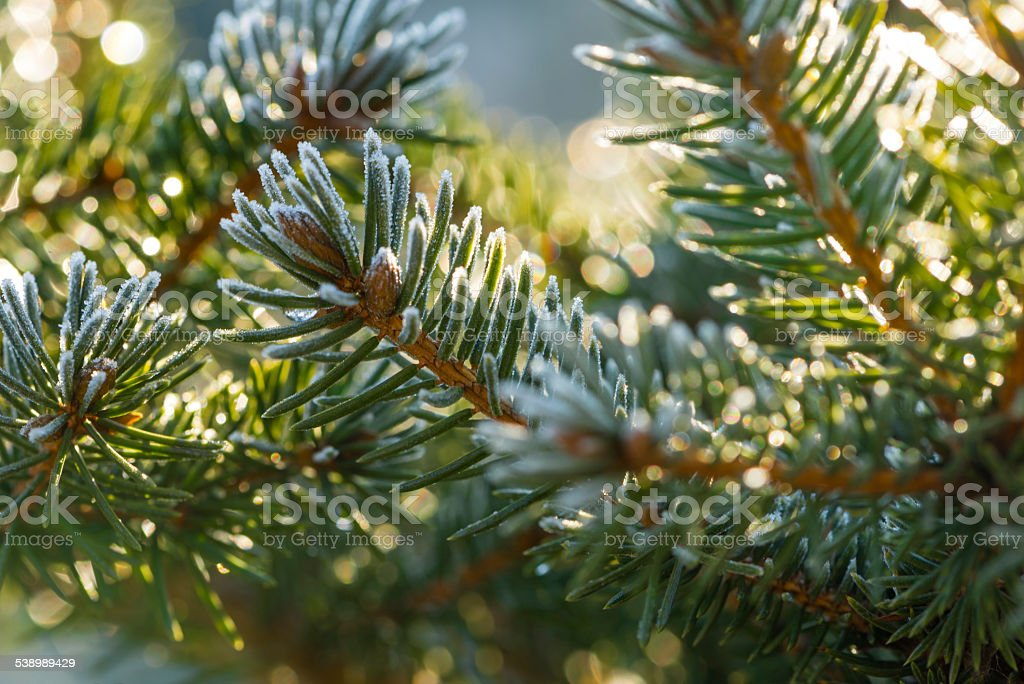 Coniferous buds coverd with hoarfrost stock photo