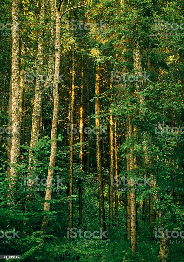 Coniferous evergreen wood with pine tree stock photo