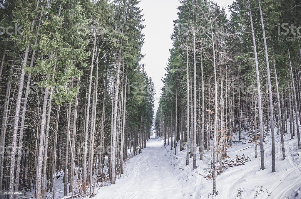 Coniferous forest in winter. Majestic slim spruce stock photo
