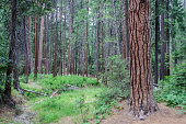 Coniferous forest in Yosemite National Park, CA USA