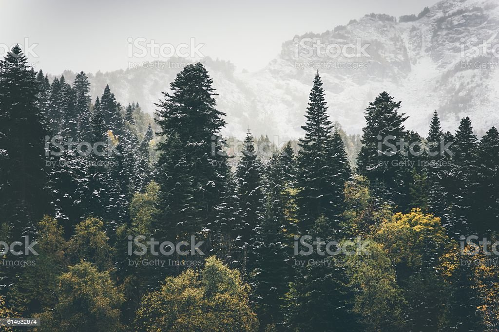 Coniferous Forest Landscape mountains on background Travel stock photo