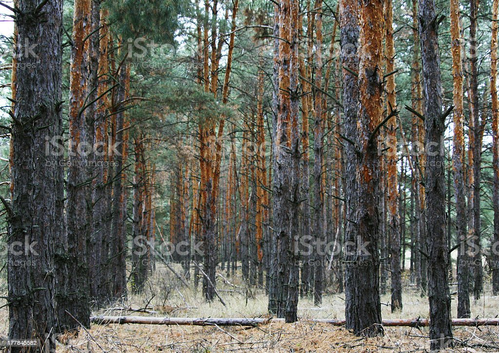 coniferous forest landscape royalty-free stock photo