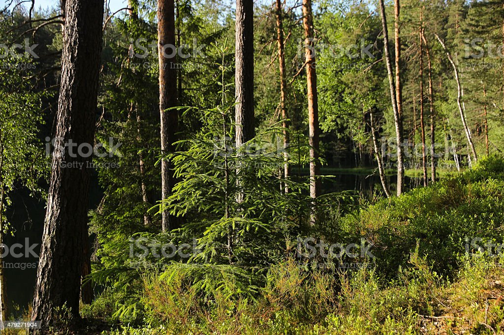 Coniferous Forest Landscape with Pin tree and lake stock photo