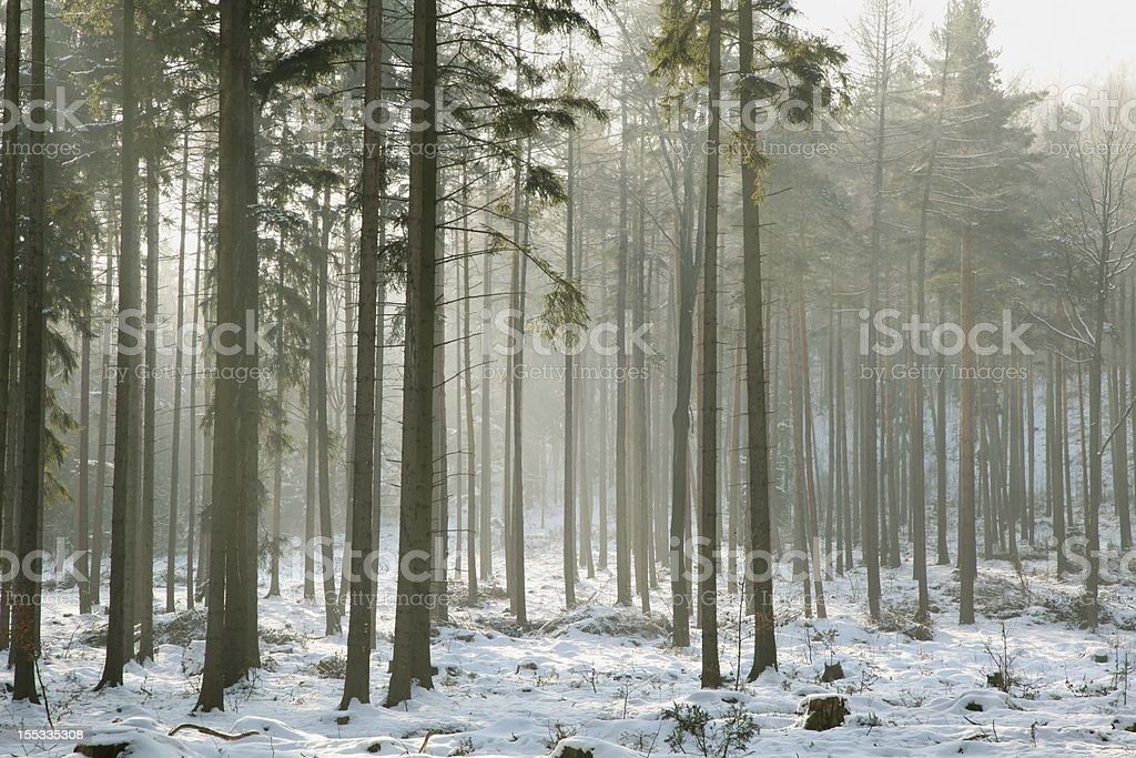 Coniferous forest on a frosty winter morning royalty-free stock photo