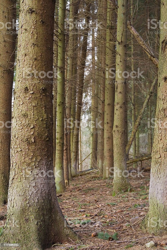 coniferous forest stock photo