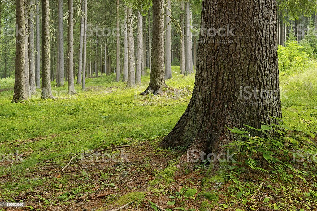 Coniferous Forest royalty-free stock photo