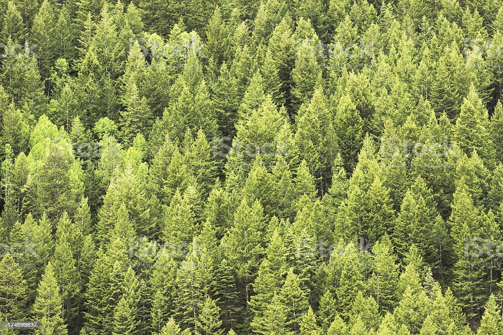 Coniferous Forest Wilderness Mountain stock photo