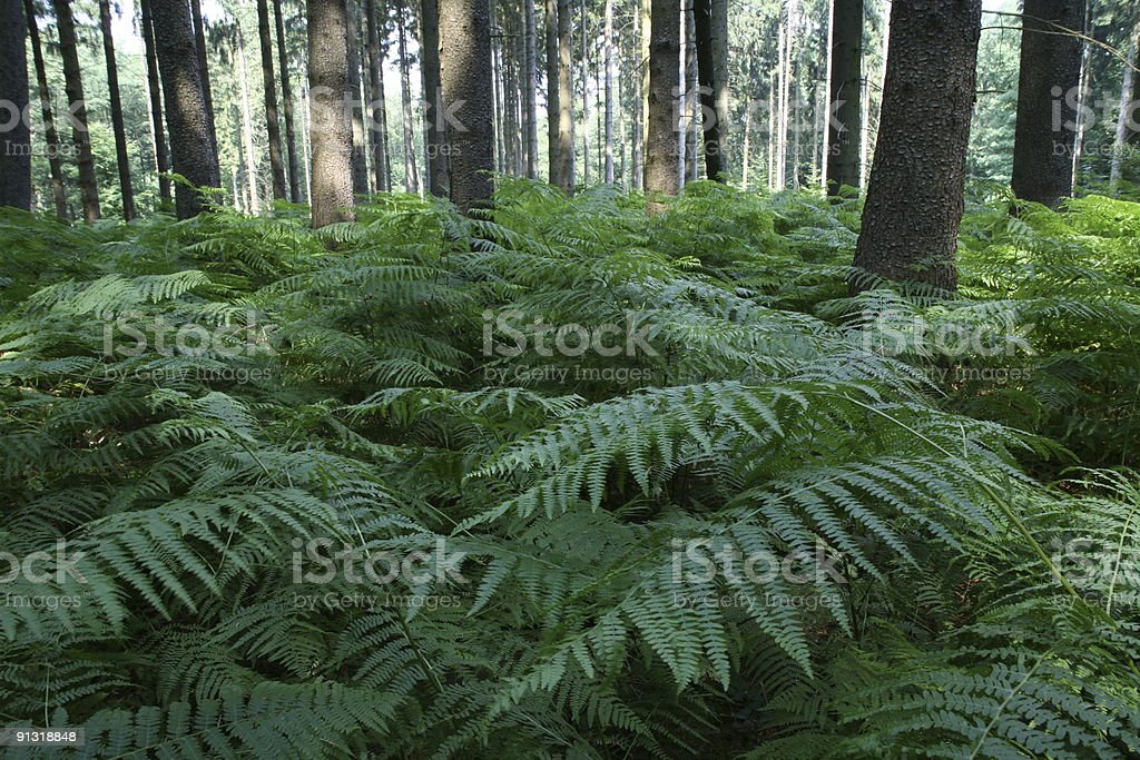 Coniferous forest with ferns stock photo