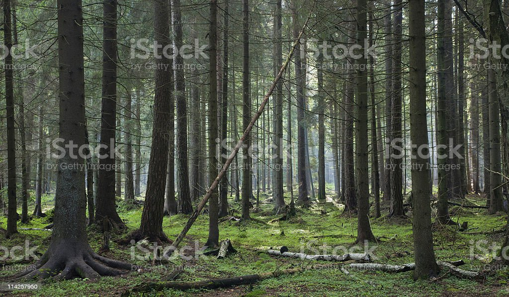 Coniferous stand of Bialowieza Forest royalty-free stock photo
