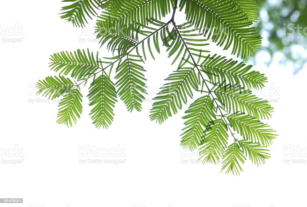 coniferous tree leaves royalty-free stock photo