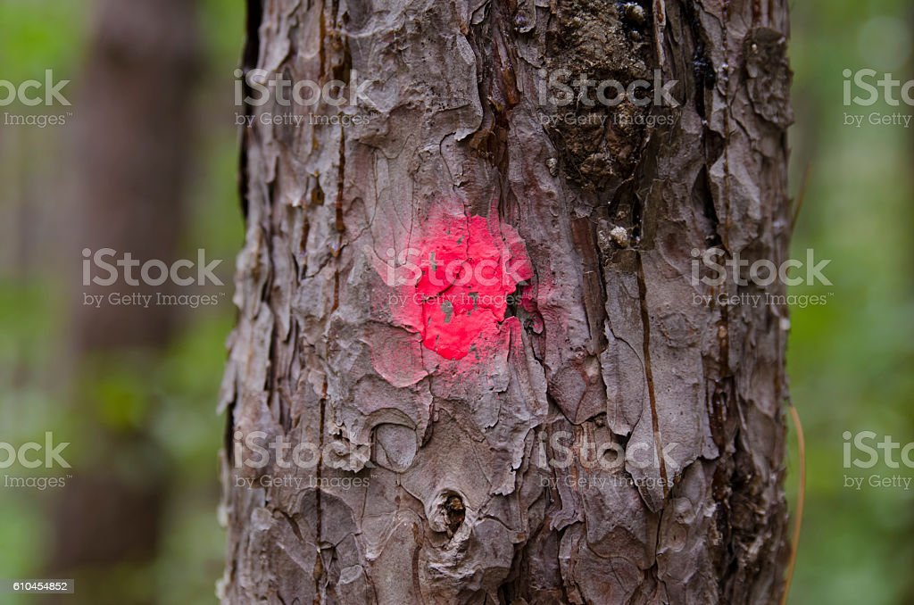 Coniferous tree marked for clearing stock photo