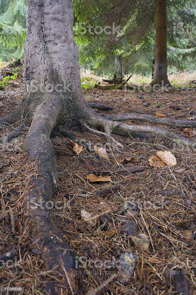 coniferous tree royalty-free stock photo