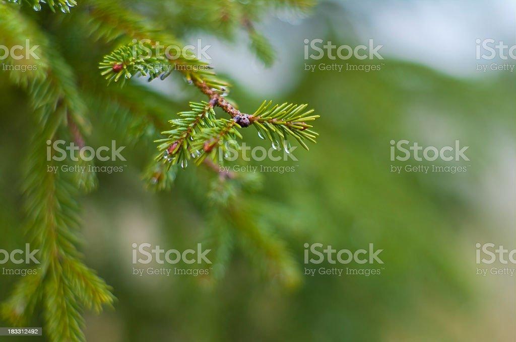 Coniferous tree stock photo