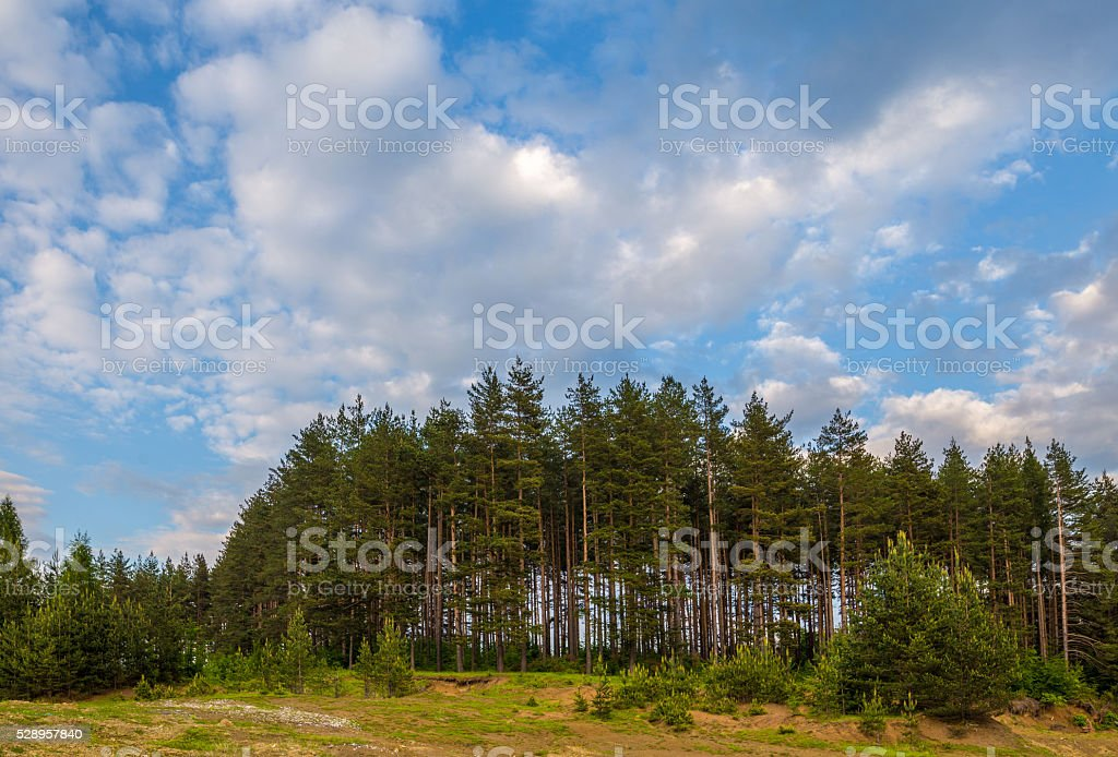 Coniferous trees arranged in a row stock photo