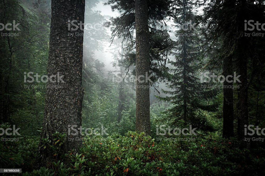 Coniferous trees in forest of taiga. Wildlife Siberia. Russia royalty-free stock photo