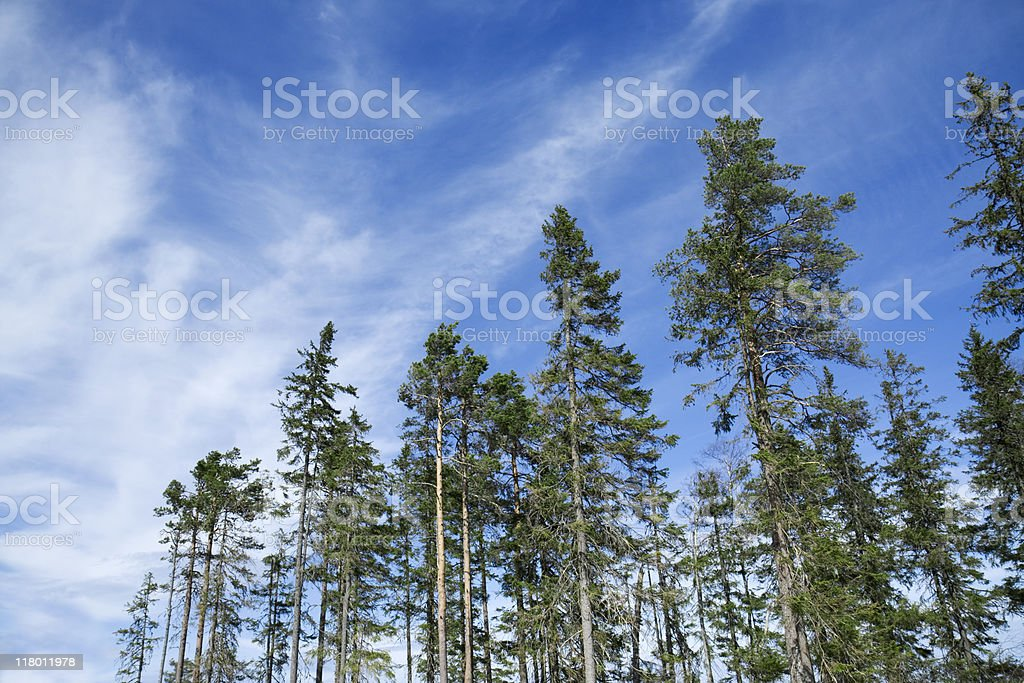 Coniferous woods royalty-free stock photo