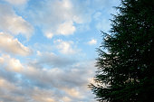 Conifers and winter skies.