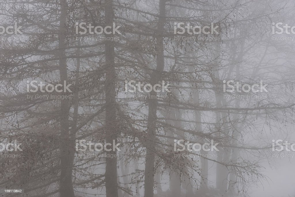 Conifers in the fog royalty-free stock photo