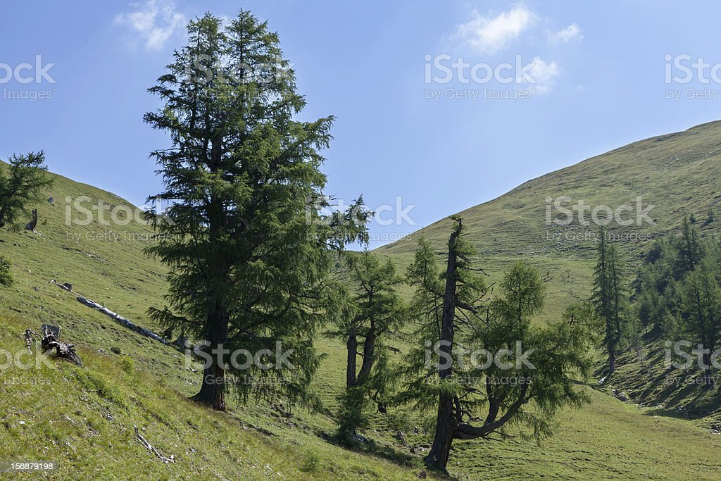 Conifers in the mountains stock photo