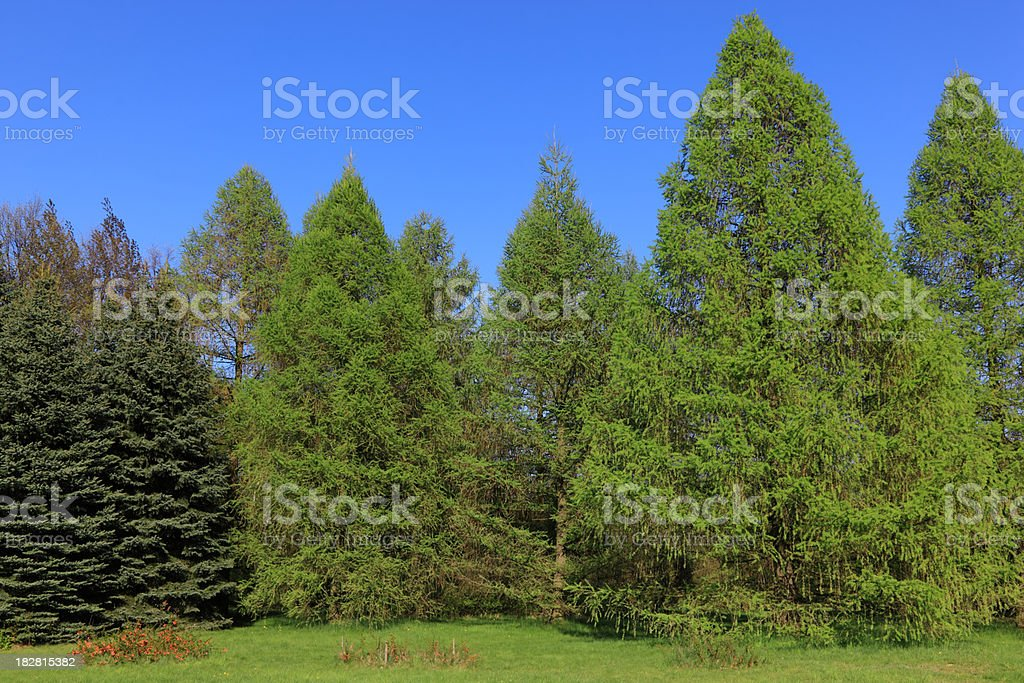 Conifers royalty-free stock photo