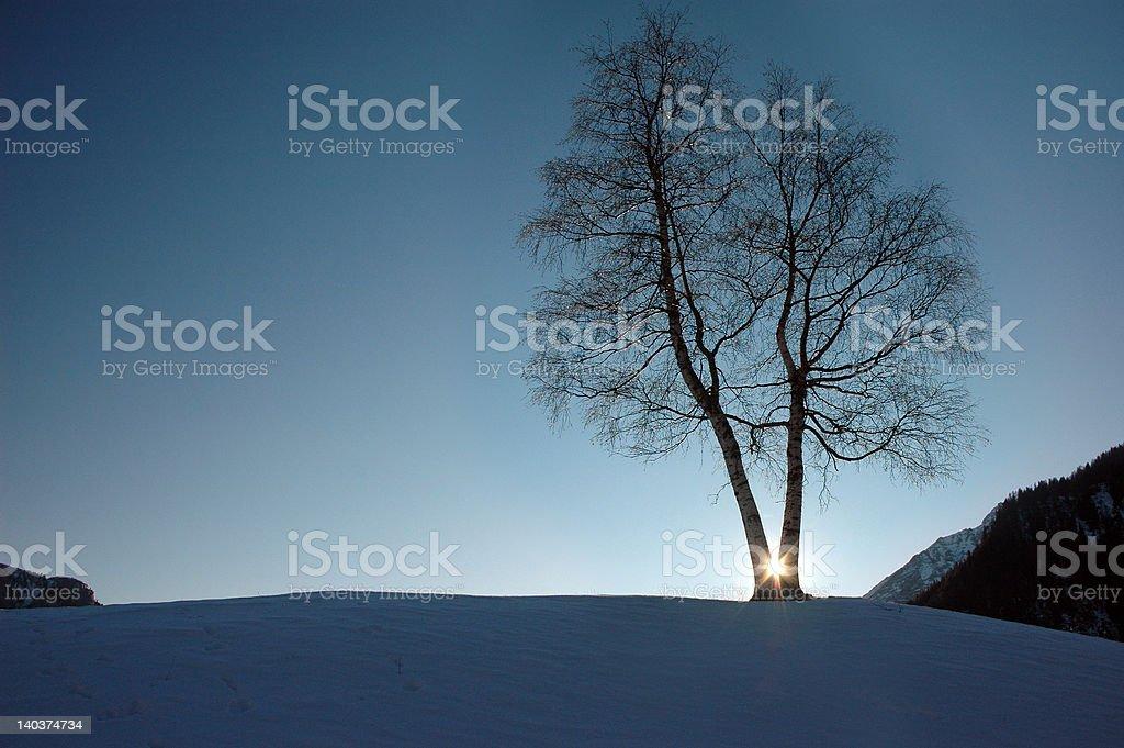 Conjoint Birchs royalty-free stock photo