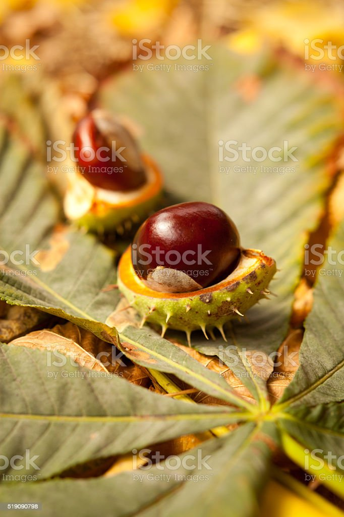 conkers autumn stock photo
