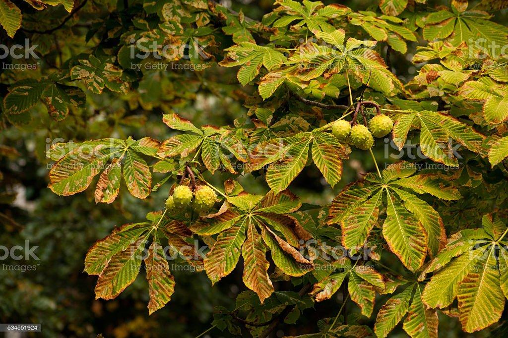 conkers  -  chestnut tree stock photo