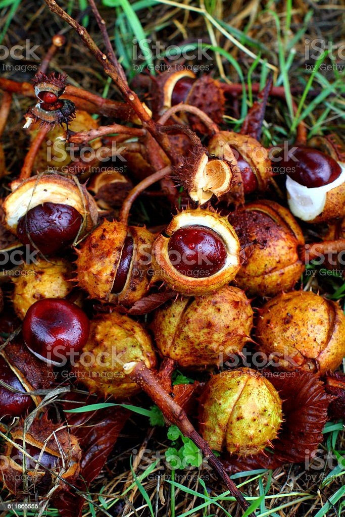 Conkers in shell stock photo