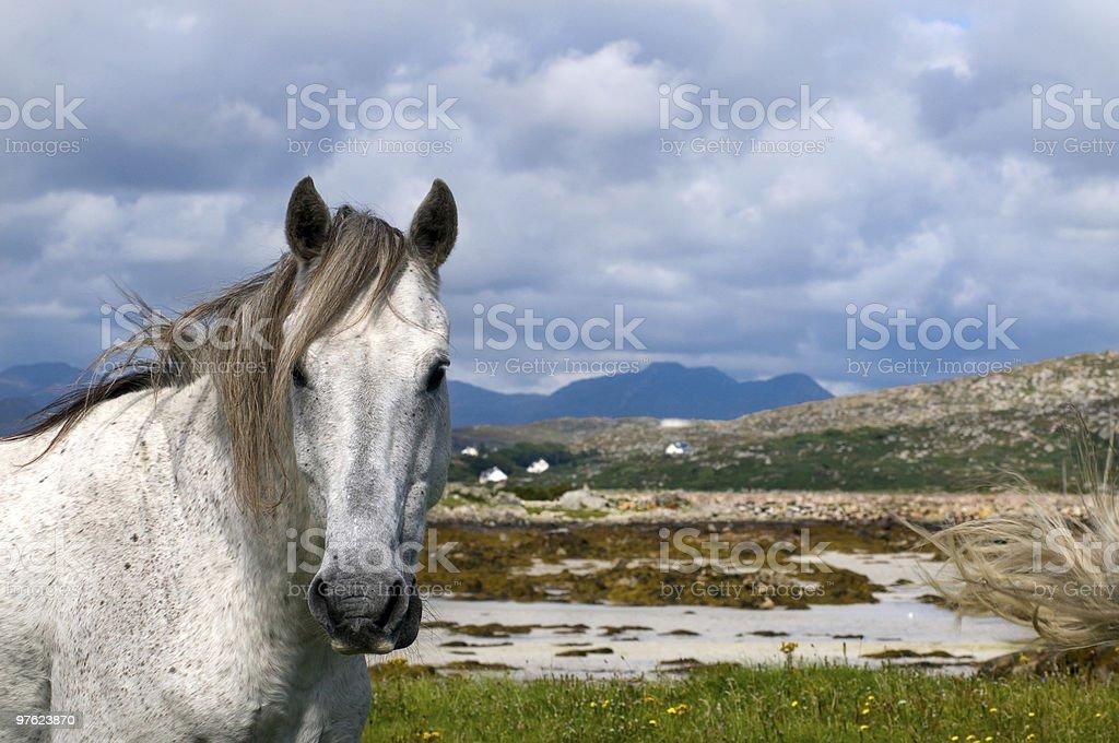Connemara pony in Ireland stock photo