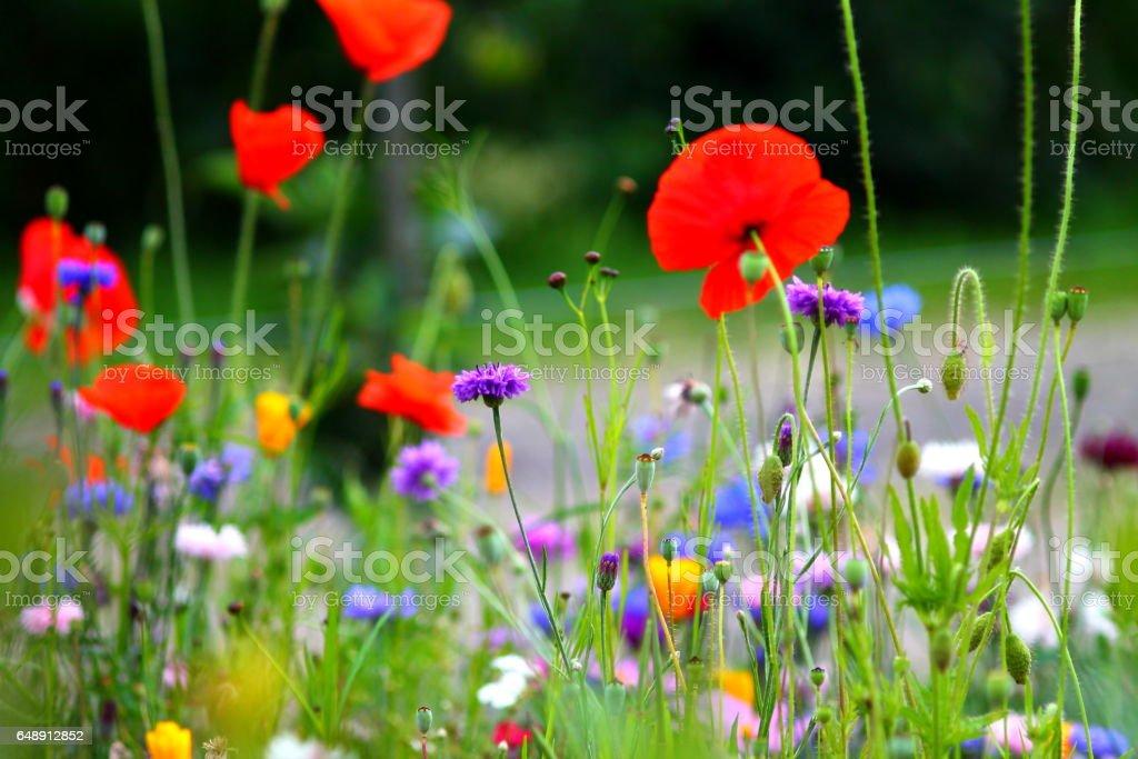 Conrflower and poppy meadow. stock photo