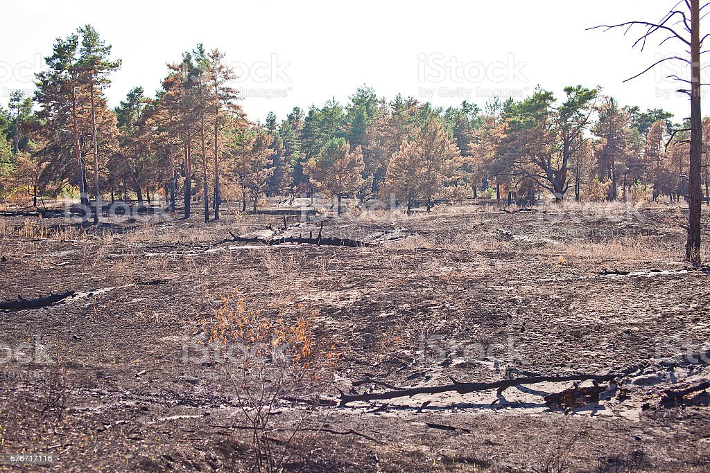 Consequences of grassroots wildfire in the pine forest stock photo