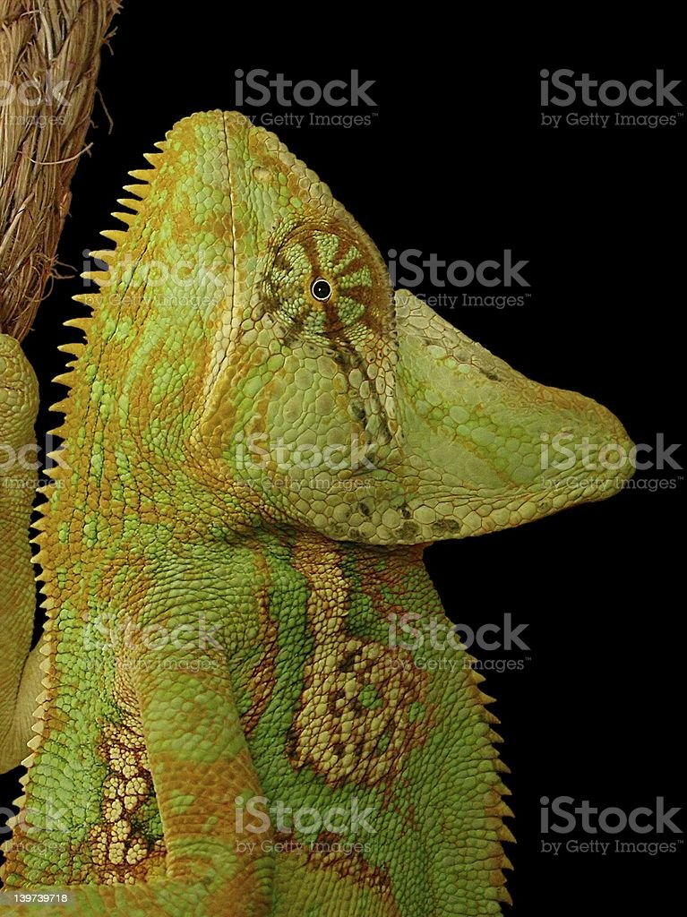 Conspicuous Chameleon royalty-free stock photo