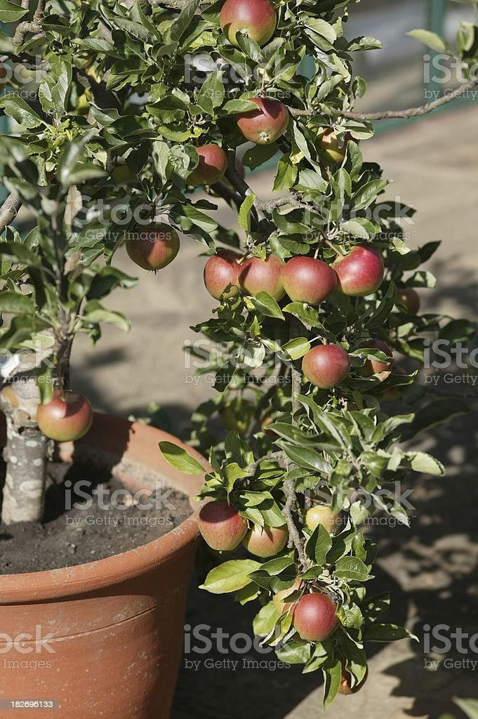 Container apples stock photo