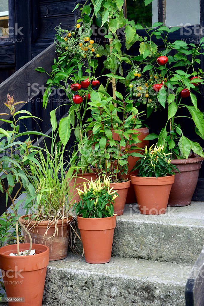 Container garden vegetables plants in pot. stock photo
