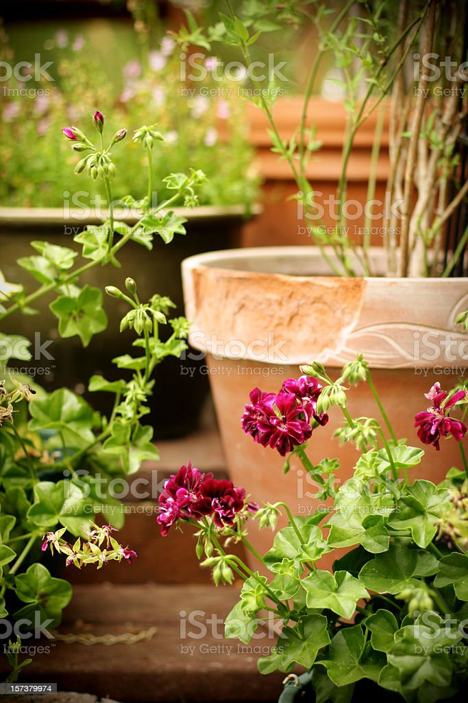 Flower garden in containers, including geranium, hardy jasmine, and...