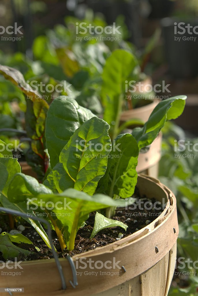 Container Vegetable Garden, Patio Gardening & Growing Collard & Lettuce Greens royalty-free stock photo