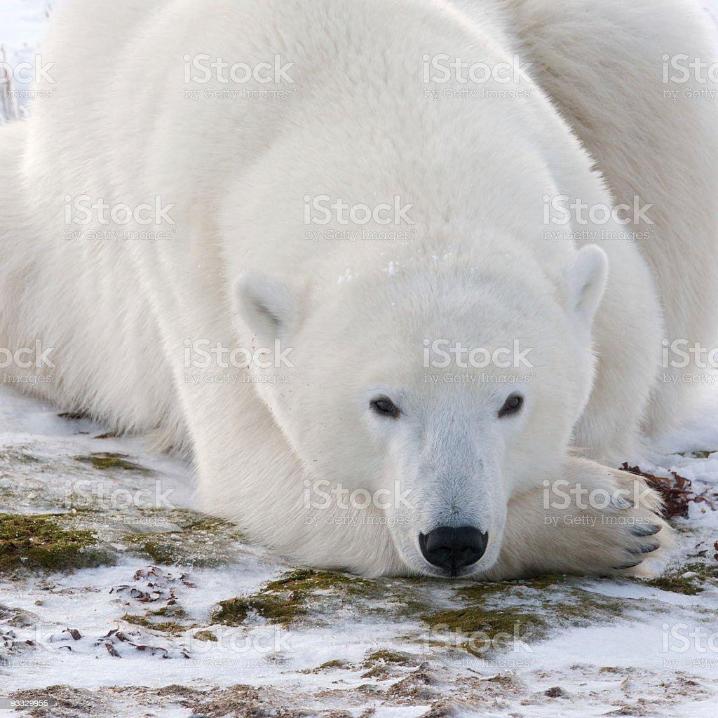 Contemplating Polar Bear stock photo