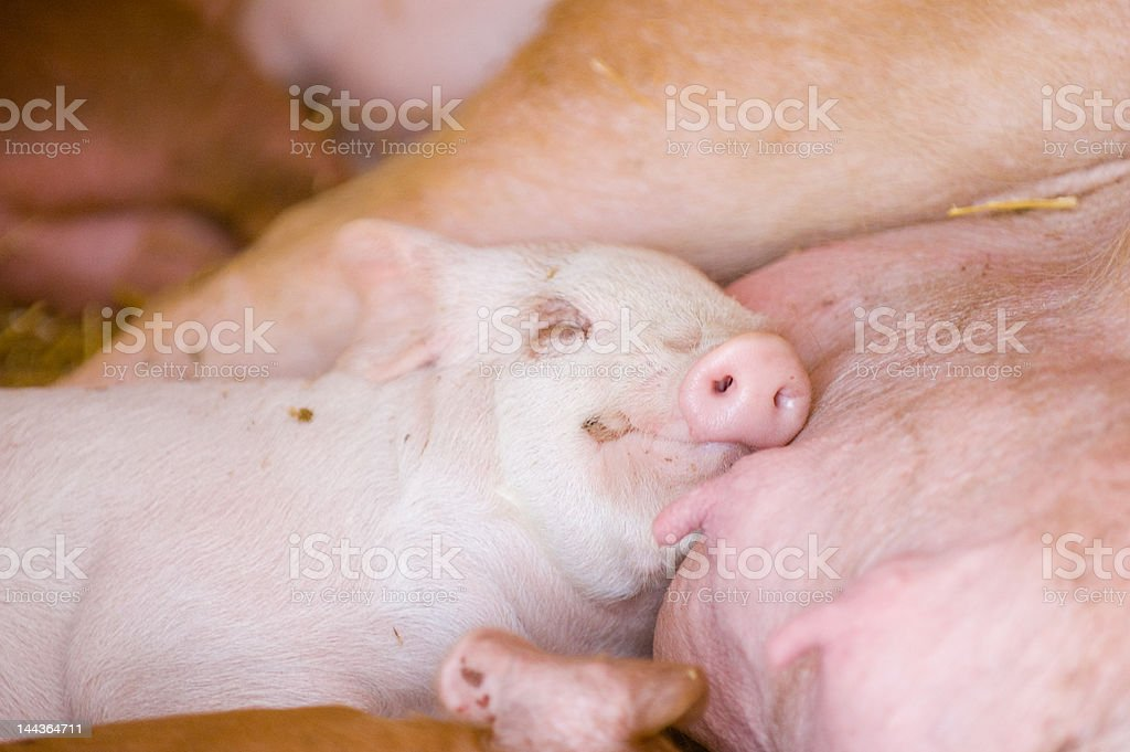Content after a full meal royalty-free stock photo