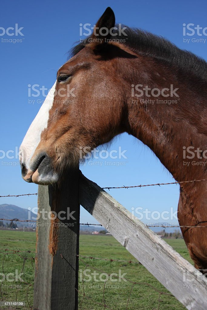 Content Horse royalty-free stock photo