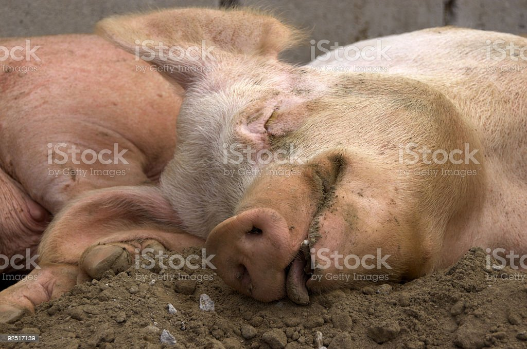 Contented Pig royalty-free stock photo