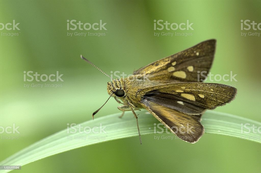 Contiguous Swift (Polytremis lubricans) of Singapore royalty-free stock photo